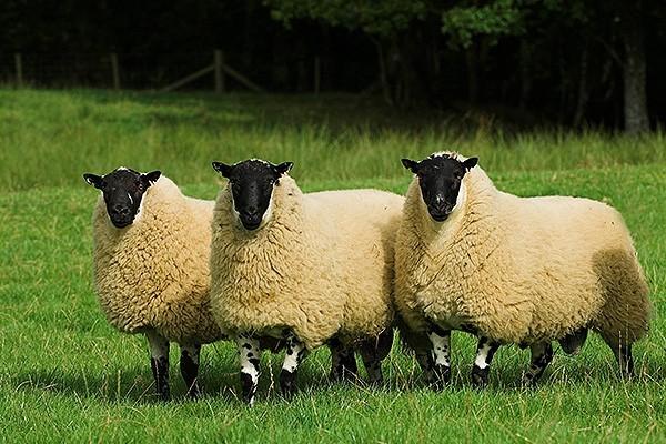 Британские овцы