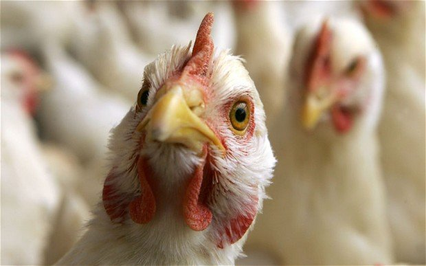 Птичий грипп в Египте