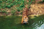 Экскурсии в Индии — Встреча с тиграми