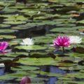 Золотой Лотосовый пруд Индия